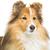 kahverengi · köpek · güzel · yalıtılmış · beyaz · bo - stok fotoğraf © svetography