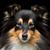 köpek · portre · güzel · çoban · köpeği - stok fotoğraf © svetography