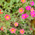 common purslane or verdolaga or pigweed or little hogweed or pus stock photo © sweetcrisis