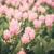 curcuma alismatifolia or siam tulip or summer tulip vintage stock photo © sweetcrisis