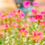 Common Purslane or Verdolaga or Pigweed or Little Hogweed or Pus stock photo © sweetcrisis