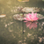 lotus or water lily flower vintage stock photo © sweetcrisis