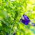 asian pigeonwings stock photo © sweetcrisis