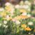 Cosmos sulphureus flower vintage stock photo © sweetcrisis