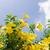 arany · trombita · gyönyörű · sárga · virág · szőlő · virág - stock fotó © sweetcrisis