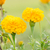 marigolds or tagetes erecta flower stock photo © sweetcrisis