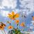yellow cosmos flower stock photo © sweetcrisis