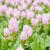 curcuma alismatifolia or siam tulip or summer tulip stock photo © sweetcrisis