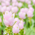curcuma alismatifolia or siam tulip or summer tulip stock photo © sweetcrisis
