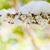 cseresznyevirág · hó · sakura · virágzó · cseresznye · fa - stock fotó © szabiphotography