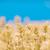 лаванды · цветы · саду · растущий · цветок · здоровья - Сток-фото © szabiphotography