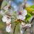 日本語 · 桜 · ツリー · 小枝 · 咲く - ストックフォト © szabiphotography