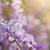 robinia pseudoacacia tree flowers know as black locust purple stock photo © szabiphotography
