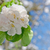 apple blossom blooming on apple tree after spring snowfall stock photo © szabiphotography