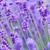 lavanda · fiore · naturale · guardare · fiori · viola - foto d'archivio © szabiphotography