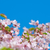 cherry blossom prunus serrulata full bloom stock photo © szabiphotography