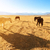 horses eating at grass land stock photo © szefei