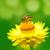 bee on a daisy flower stock photo © szefei