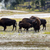 north american female buffalo and her offspring showing affecti stock photo © tab62