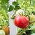 sağlıklı · domates · doğal · büyümüş · bahçe · meyve - stok fotoğraf © tab62