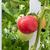 красный · зеленый · помидоров · разнообразие · старые - Сток-фото © tab62