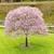 single cherry tree in green yard stock photo © tab62