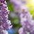 Буш · сирень · цветы · изолированный · белый - Сток-фото © taden
