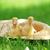 bolyhos · három · aranyos · ül · szalmakalap · fű - stock fotó © taden