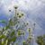 zachte · heldere · witte · Geel · ander · planten - stockfoto © taden