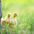 two fluffy chicks stock photo © taden