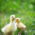 Paskalya · civciv · çim · çiçekler · mavi · gökyüzü · çiçek - stok fotoğraf © taden
