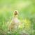 two fluffy chicks stock photo © taden