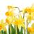 Geel · narcissen · oude · houten · Pasen · bloem - stockfoto © taden