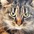 szürke · csíkos · macska · hazugságok · izolált · haj - stock fotó © taden