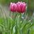 Rood · tulpen · tuin · bloemen · voorjaar · liefde - stockfoto © taden
