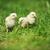 Paskalya · civciv · çim · küçük · gökyüzü · çiçek - stok fotoğraf © taden