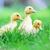 three fluffy chicks stock photo © taden
