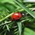 joaninha · grama · vermelho · joaninha · sete · preto - foto stock © taden