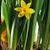 Geel · narcissen · narcis · bloemen · voorjaar · schoonheid - stockfoto © taden