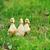 húsvét · fű · kicsi · égbolt · virág - stock fotó © taden