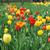 vermelho · amarelo · tulipas · quantidade · típico - foto stock © taden