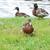 női · kacsa · fiatal · víz · természet · nyár - stock fotó © taden