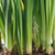 narcis · bloempot · jonge · bloemen · groene · bladeren - stockfoto © taden