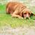 茶色の犬 · ビッグ · 草 · 自然 · 夏 · フィールド - ストックフォト © taden