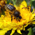 abelha · flor · pólen · primavera · jardim · margarida - foto stock © taden