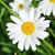 ヒナギク · 緑の草 · 花 · 春 · 草 - ストックフォト © taden