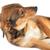 коричневая · собака · Cute · волос · животные · студию · красивой - Сток-фото © taden