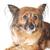 коричневая · собака · волос · животные · студию · красивой - Сток-фото © taden