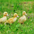 tres · mullido · pollitos · hierba · verde · hierba · nino - foto stock © taden