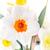 narcissen · geïsoleerd · witte · heldere - stockfoto © taden